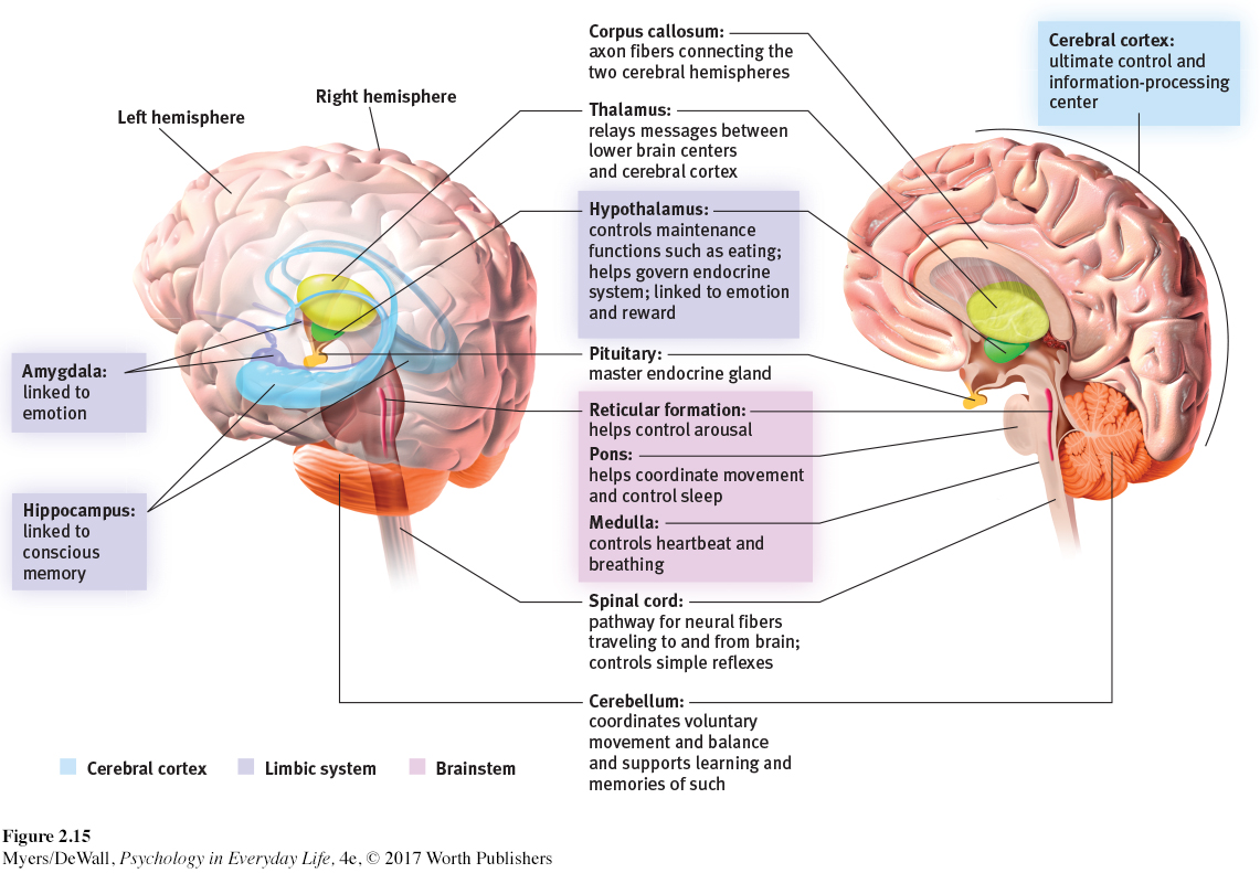 Ap psych brain diagram amygdala automotive block diagram pel4e ch2 rh macmillanhighered com blank brain diagram and functions chart brain parts ccuart Choice Image