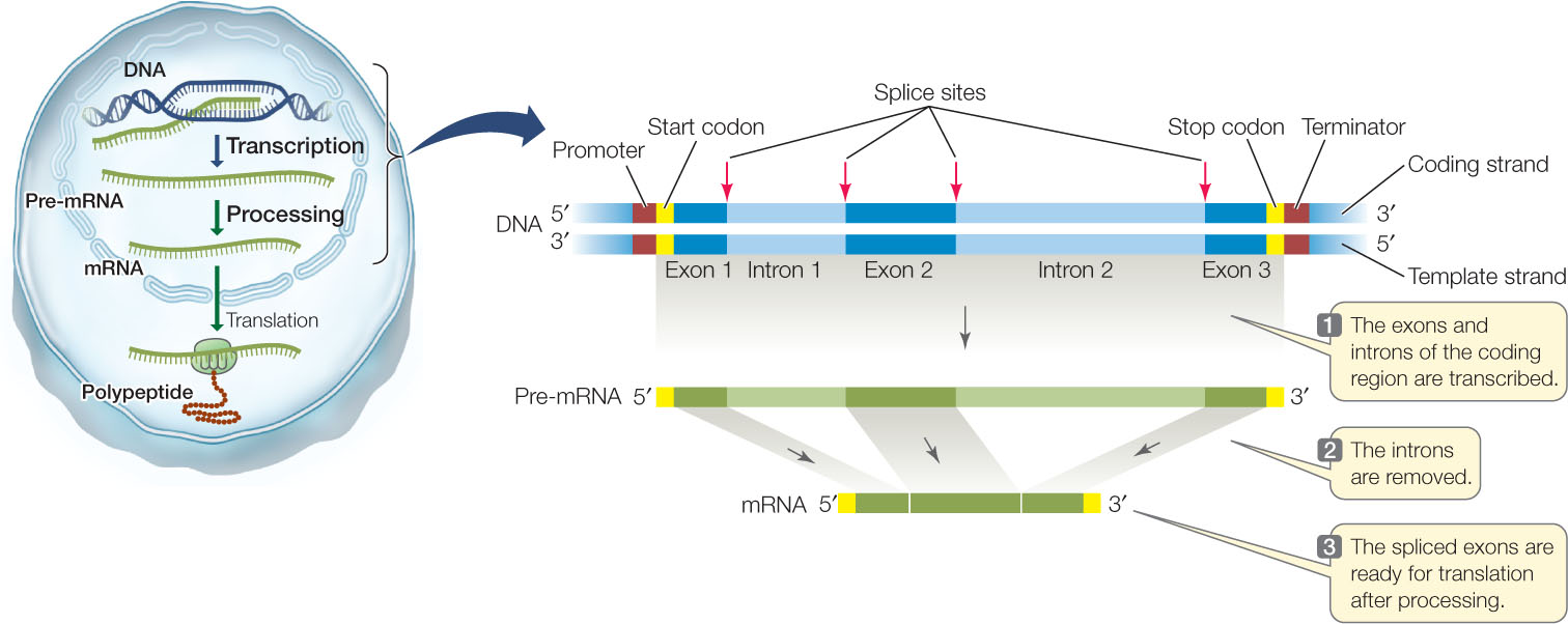 Hillis2ech10 for scientists who were familiar with prokaryotic genes and gene expression the discovery of introns in eukaryotic genes was entirely ccuart Images
