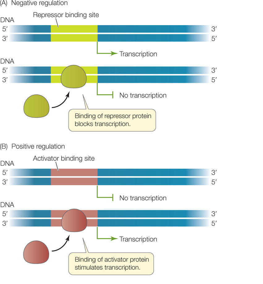 gene expression repression and activation
