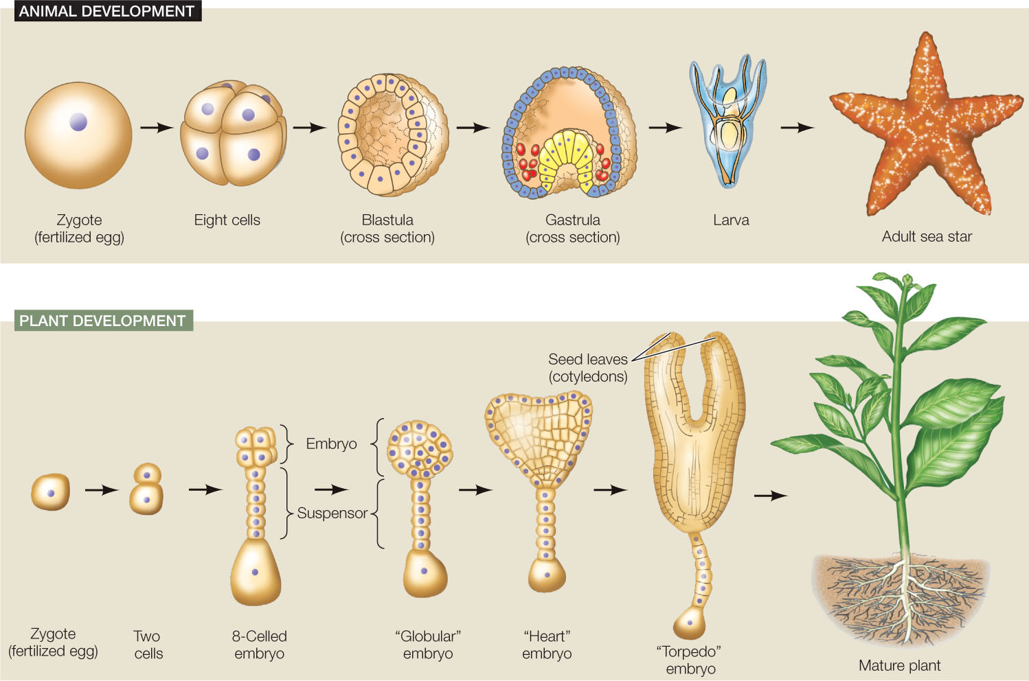 Image result for mammal embryo development