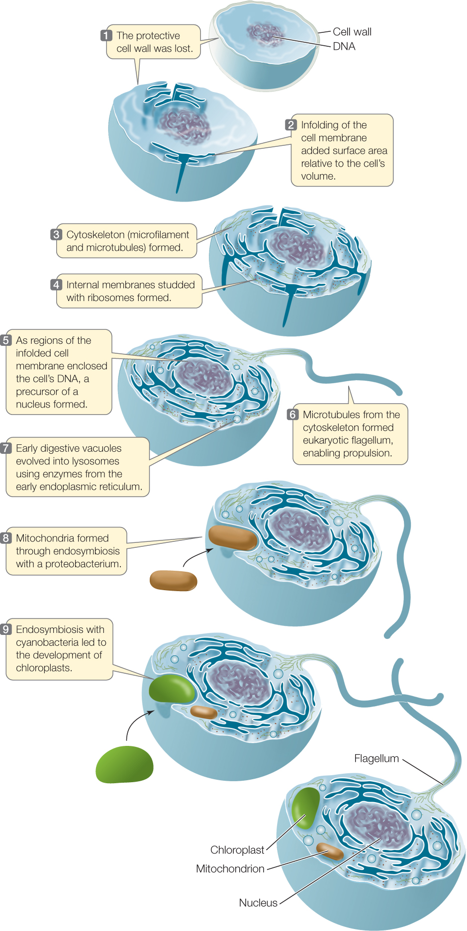 Evolution of the eukaryotic cells
