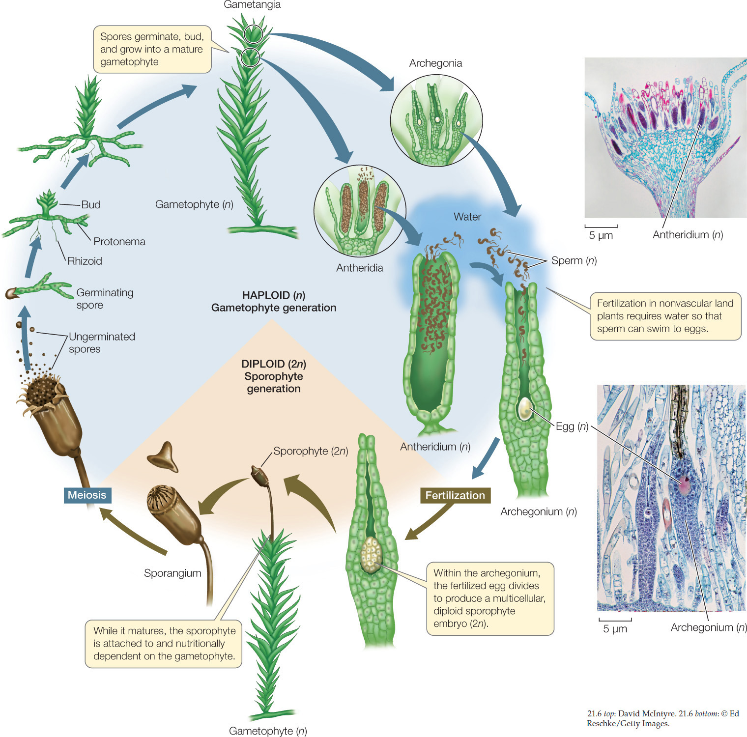 Hillis2ech21 figure 216 a moss life cycle the life cycles of nonvascular land plants exemplified here by that of a moss are dependent on an external source of liquid pooptronica