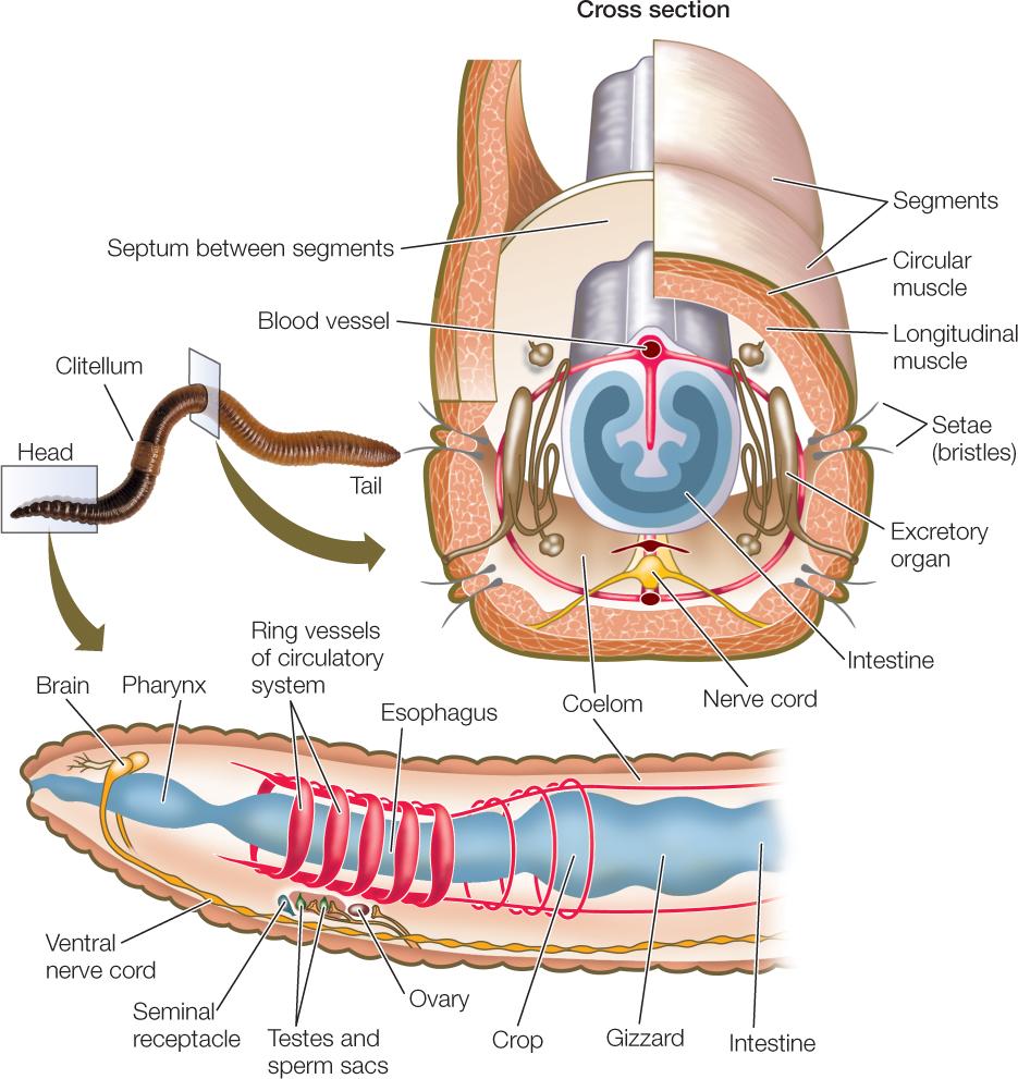 Internal anatomy of the earthworm 3131799 - follow4more.info