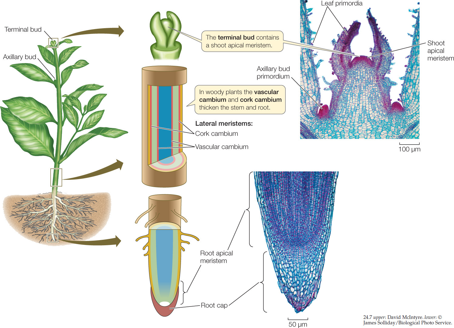 Photosynthesis Respiration and Plant Growth