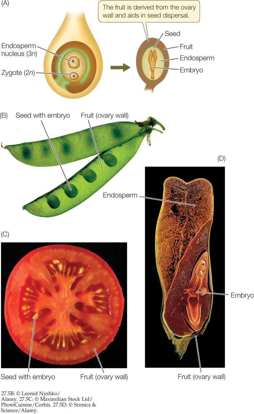 embryo development in plants