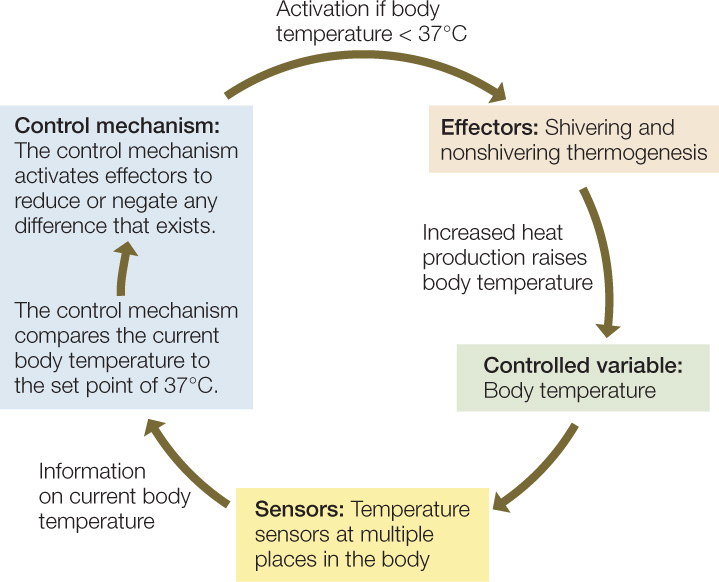 figure 29 16: negative feedback: a systems diagram of the temperature  control system of a mammal the major components of this system are the  controlled