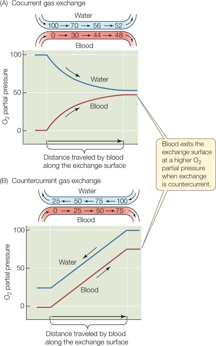 figure 31 6: countercurrent gas exchange is more efficient than cocurrent  (a) cocurrent gas exchange  (b) countercurrent gas exchange  the diagram  above
