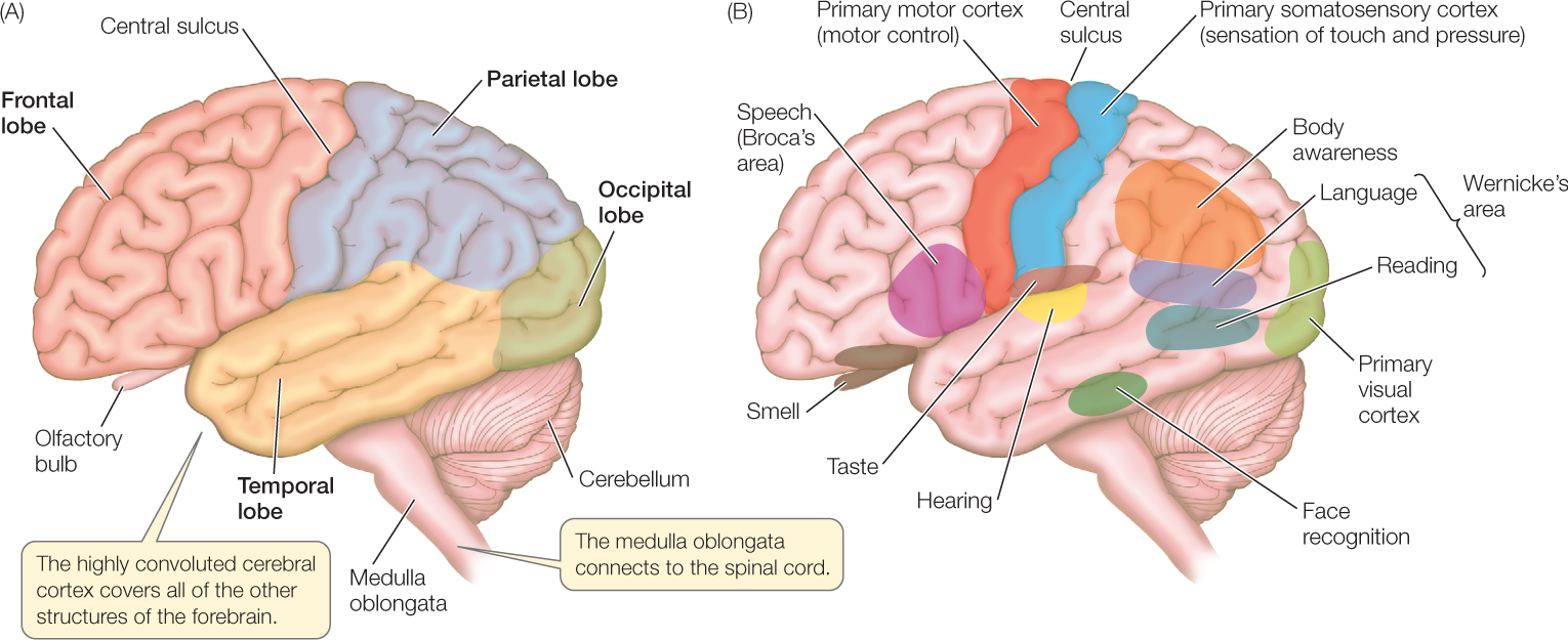 The functions of mirror neurons