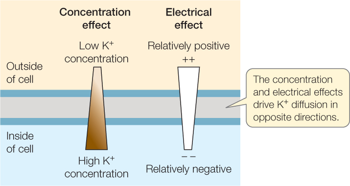 effect of concentration on cell potential
