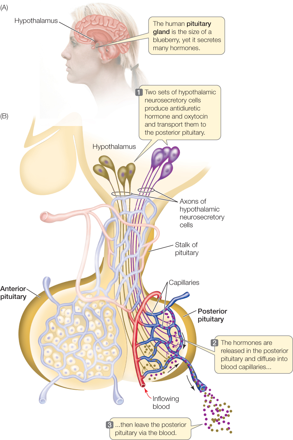what is the master gland of the human body