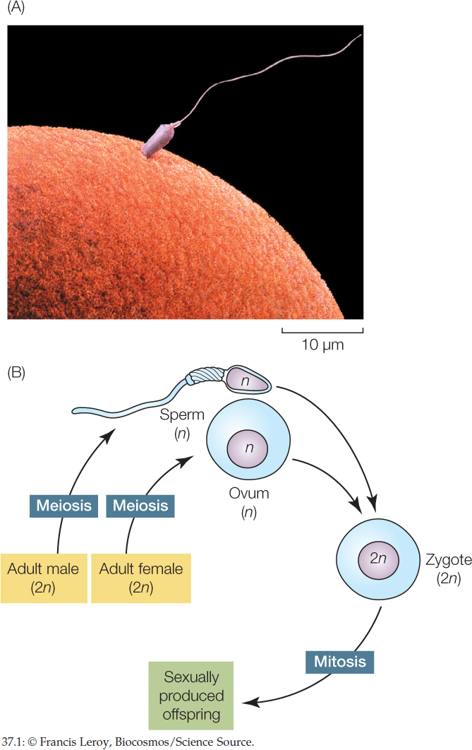 Human sexual reproduction definition