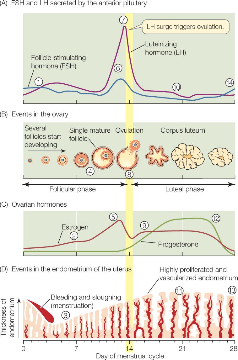 The Mechanism Of Ovulation