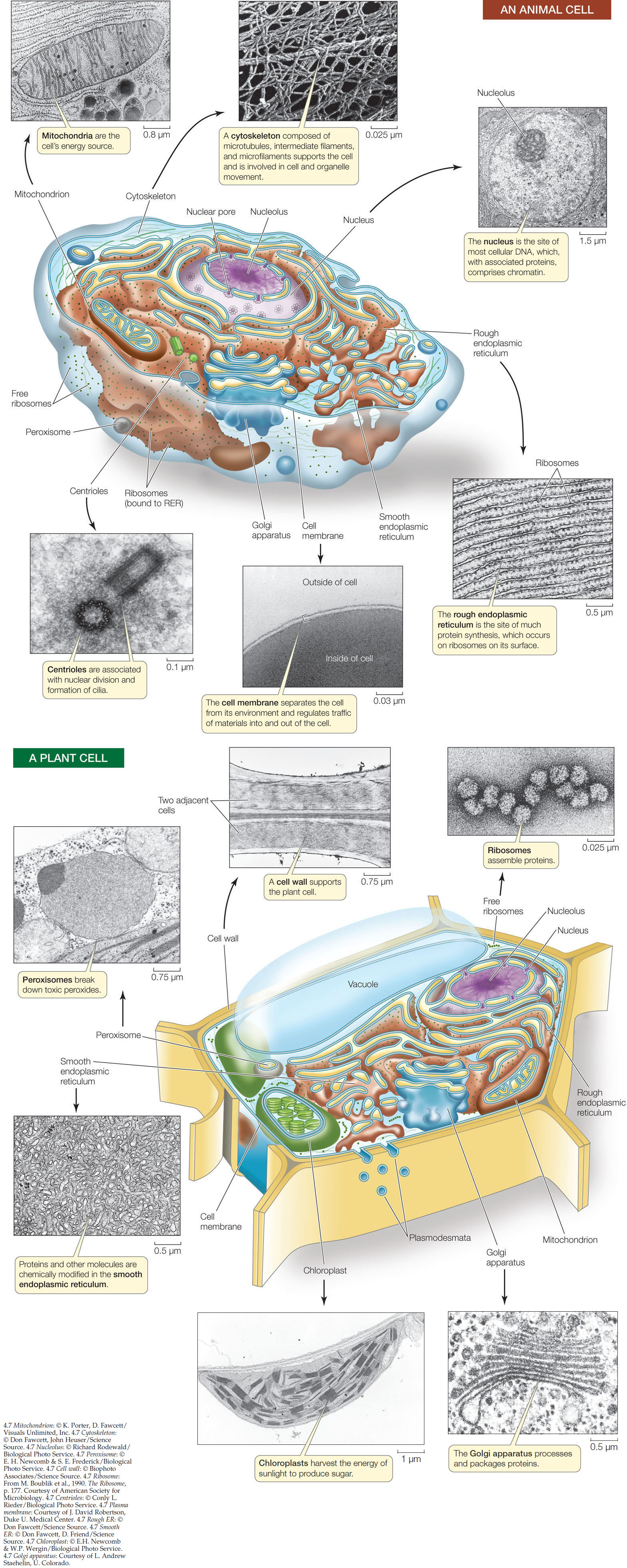 Hillis2e Ch04 Plant Cell Structure Diagram Plasmodesmata Allow Water Ions Small Molecules Hormones And Even Some Rna Protein To Move Between Connected Cells