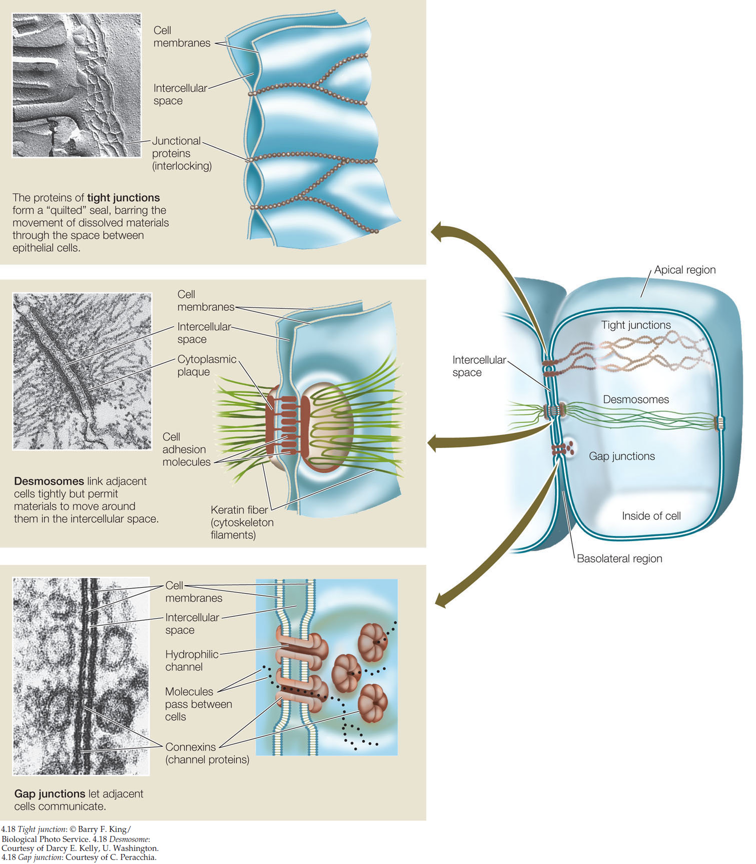 type of cell junction anchors adjacent cells and resist thai separates during contractile activities Those that form during cytokinesis, as strands of endoplasmic reticulum are trapped in the new cell wall being formed between daughter cells , are called primary plasmodesmata  those that form in the absence of cell division, during cell wall expansion, are called secondary plasmodesmata the mechanism by which the latter are formed is not.