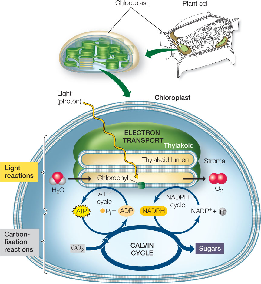 Hillis2ech06 and the carbon fixation reactions occur in the cytosol in plants which will be our focus here both pathways proceed within the chloroplast pooptronica Images