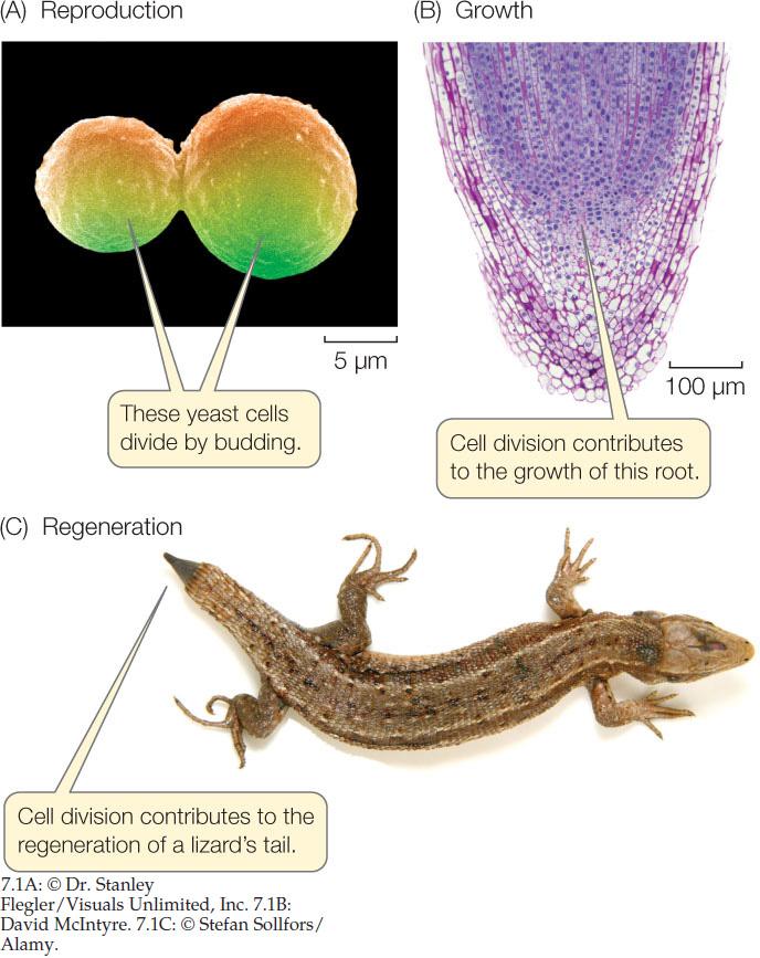 Albugo candida asexual reproduction regeneration