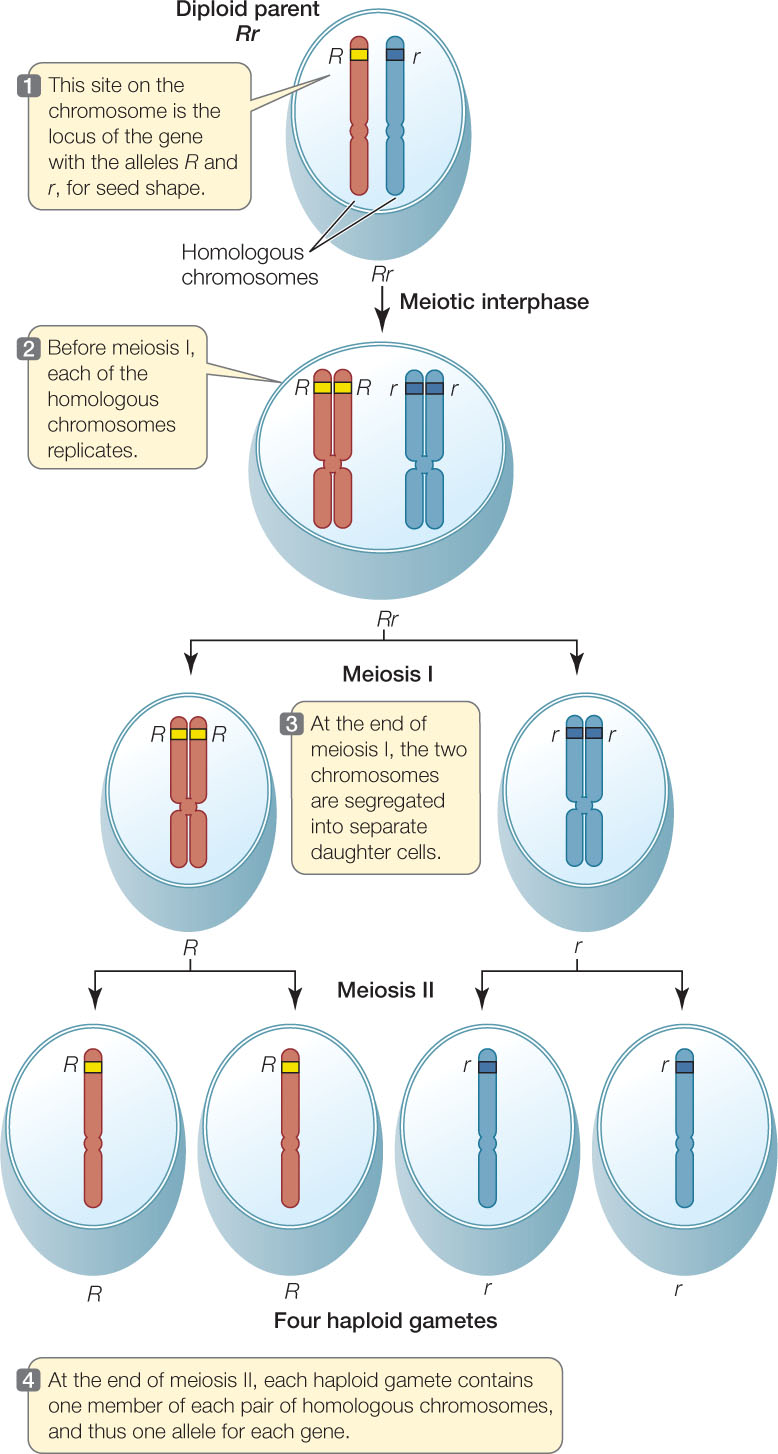 Diagram of two chromosomes all kind of wiring diagrams hillis2e ch08 rh macmillanhighered com cell diagram chromosomes dna chromosomes diagram ccuart Image collections
