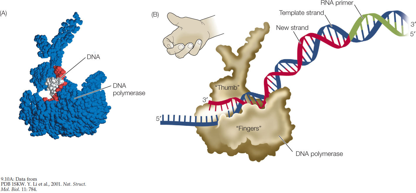 figure 910 dna polymerase binds to the template strand a the dna polymerase enzyme blue is much larger than the dna molecule red and white