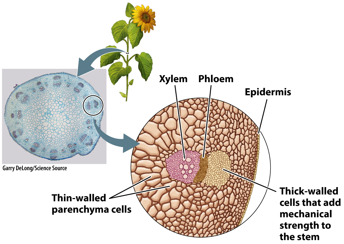 Xylem And Phloem Diagram Cross Section | World of Reference