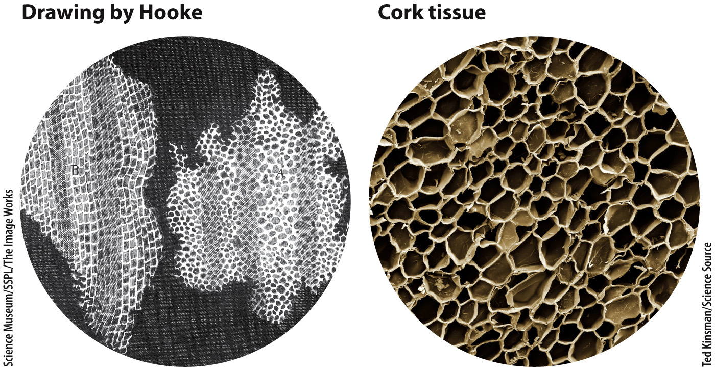 Cork Under Microscope